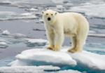 oso-polar-deshielo